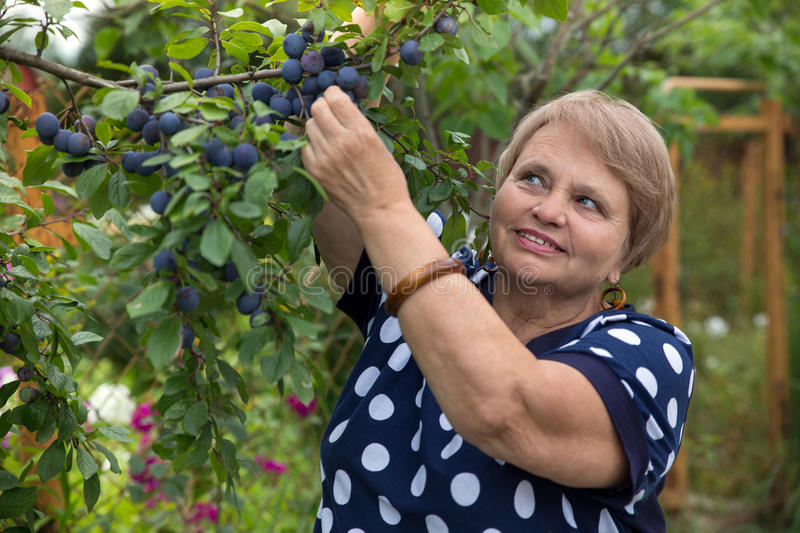 Senior woman collects plums. Happy Senior woman collects plums stock photos