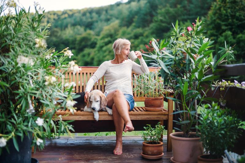 A senior woman with a dog and coffee sitting outdoors on a terrace in summer. A senior woman with a dog and coffee sitting outdoors on a terrace on sunny day in stock photography