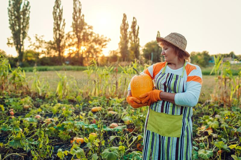 Senior woman farmer picking autumn crop of pumpkins on farm. Agriculture. Thanksgiving and Halloween preparation stock image