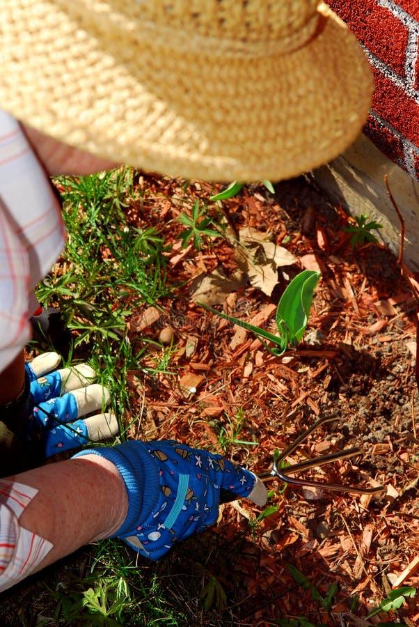 Download Senior woman gardening stock photo. Image of plant, aged - 2393918