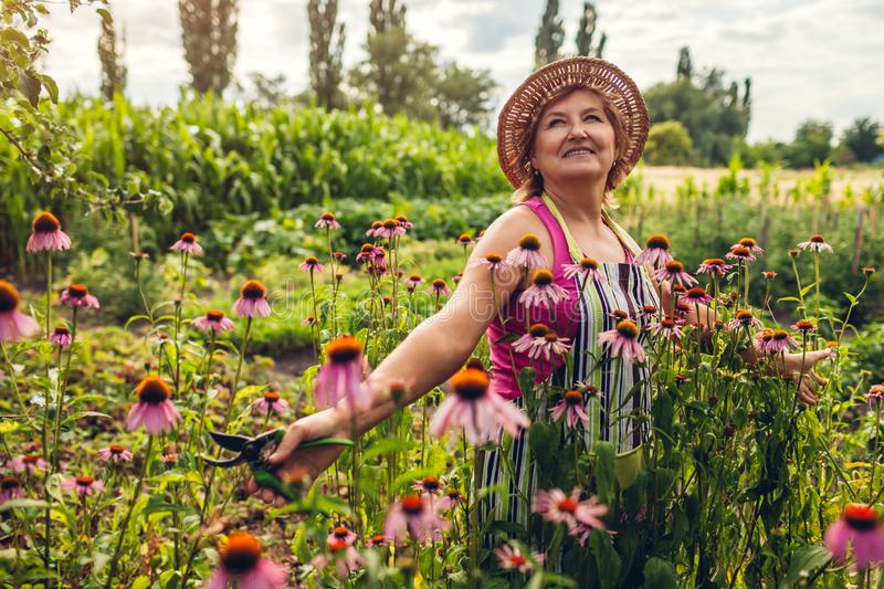 Senior woman gathering flowers in garden. Middle-aged woman walking by Echinacea or coneflower. Gardening concept royalty free stock photography