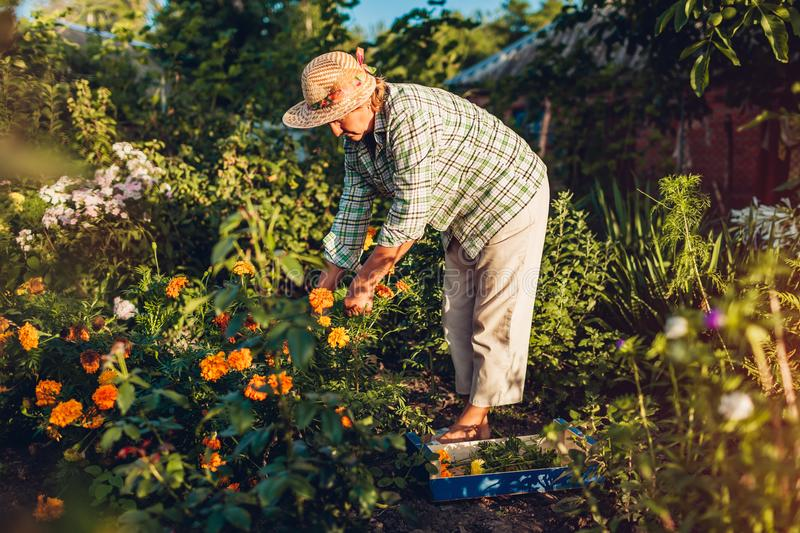 Senior woman gathering flowers in garden. Middle-aged woman cutting flowers off using pruner. Gardening concept royalty free stock image