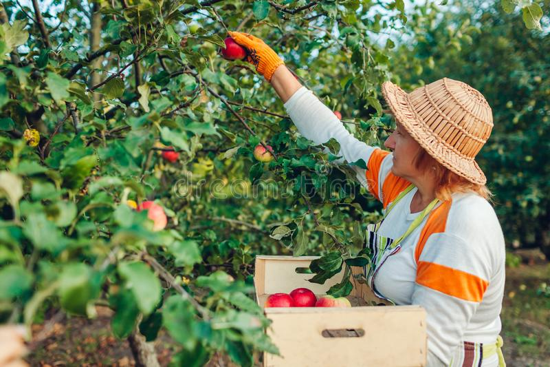 Senior woman gathering ripe organic apples in summer orchard. Farmer putting fruits in wooden box stock images