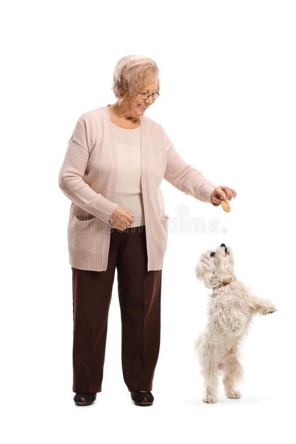 Senior woman giving a biscuit to a maltese poodle dog. Full length portrait of a senior woman giving a biscuit to a maltese poodle dog isolated on white royalty free stock images