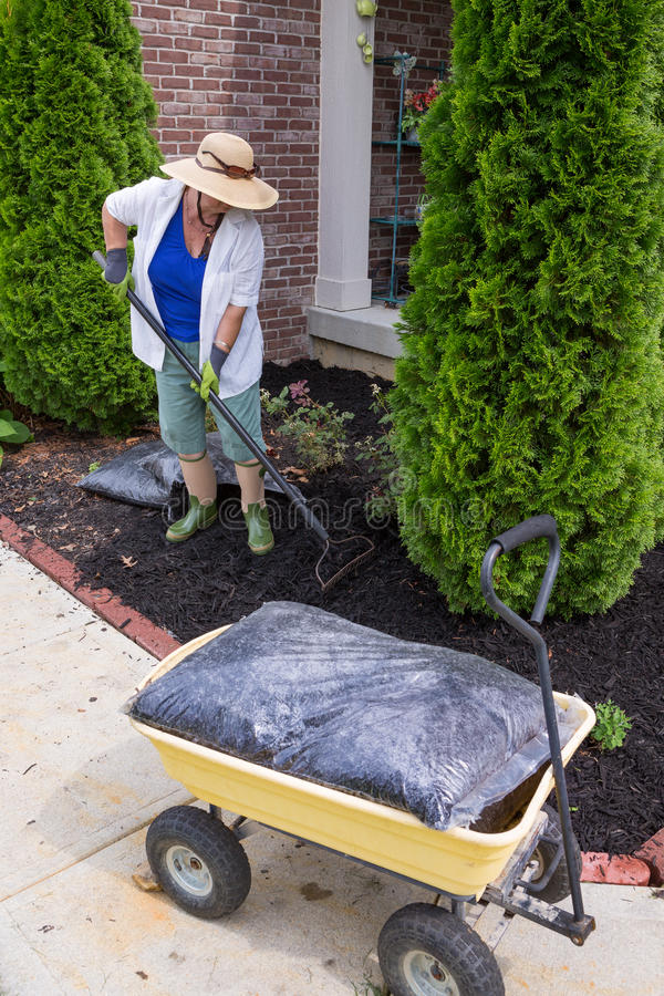 Senior woman mulching around arborvitaes. An evergreen tree also known as thuja, using a rake to spread the mulch over the soil with a bag of mulch in the stock photography