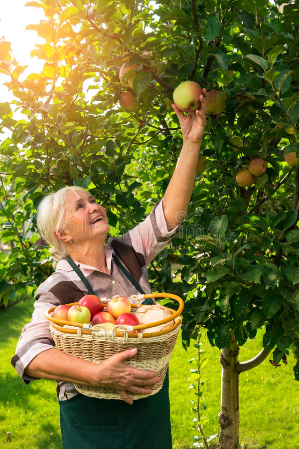 Senior woman picking apples. stock images