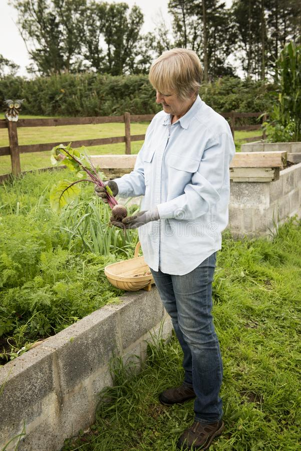 Senior woman picking beetroot from her garden allotment stock photo