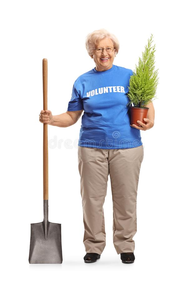 Senior woman volunteer with a shovel and a plant. Full length portrait of a senior woman volunteer with a shovel and a plant isolated on white background stock image