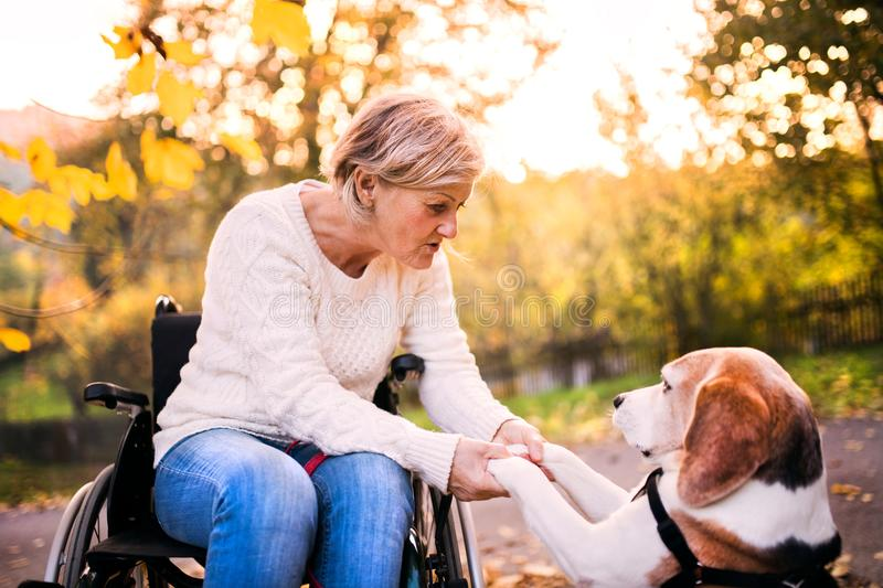 A senior woman in wheelchair with dog in autumn nature. Senior woman holding paws of the dog stock image