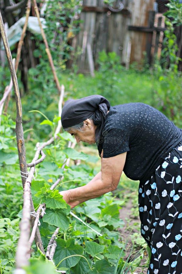 Senior woman working in garden stock photography