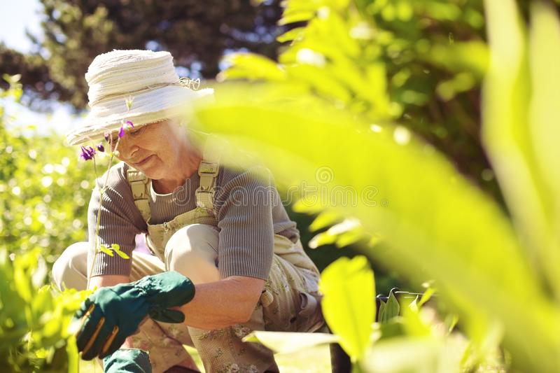 Senior woman working in her garden stock image