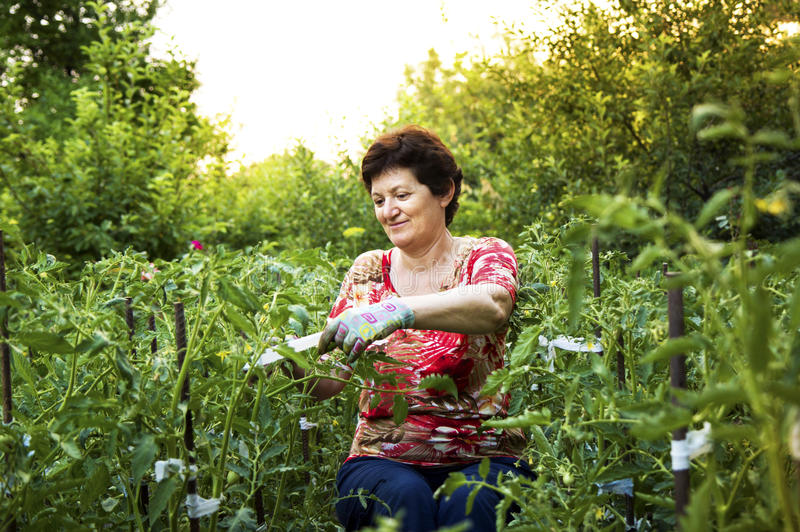 Senior woman working in a vegetable garden tying up tomatoes. stock images