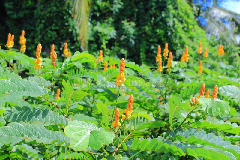 Senna alata. Is an important medicinal tree also known as emperor's candlesticks,candle bush, candelabra bush, empress candle plant, ringworm tree, or stock photography