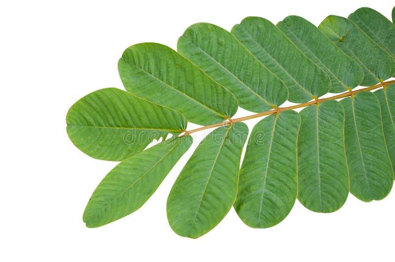 Senna alata leaves. Fresh green Senna alata leaves on white background royalty free stock photography