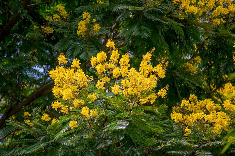 Senna spectabilis with flowers. Tree senna spectabilis in summer royalty free stock image