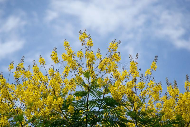 Senna spectabilis. With flowers in summer stock photography