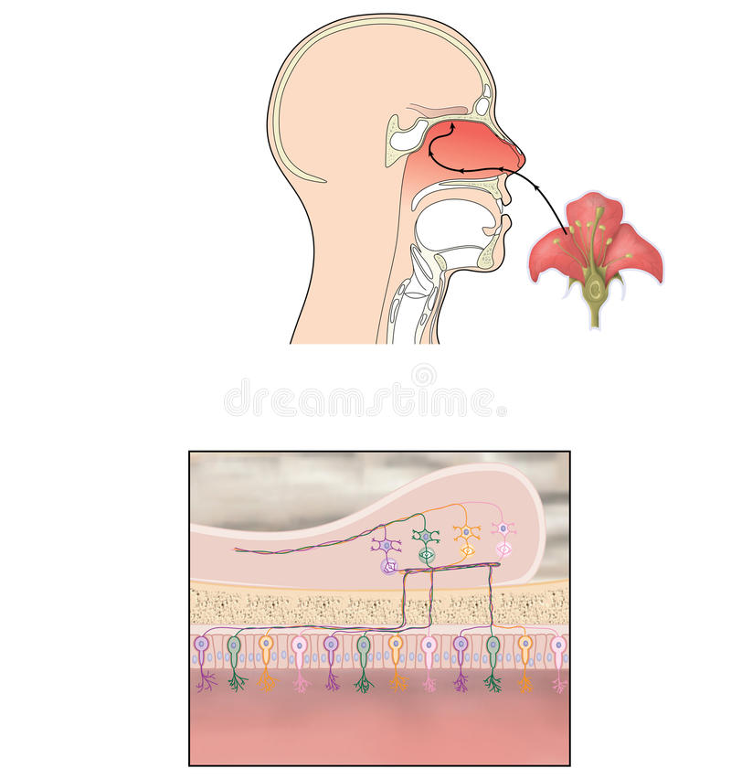 Sense of smell. Transmission of smell showing scent reaching olfactory bulb and nerve signals passing to the brain for perception of smell vector illustration