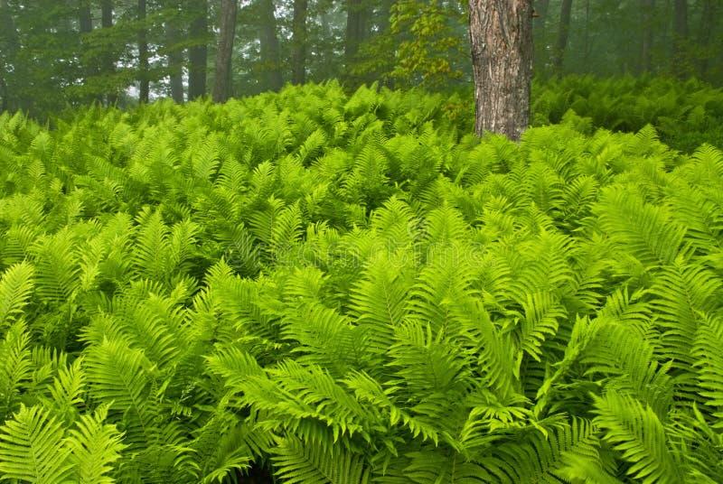 Sensitive Ferns royalty free stock image