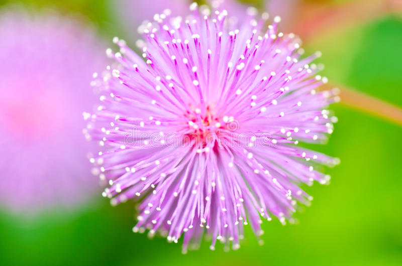 Sensitive plant - Mimosa pudica in green nature royalty free stock photography