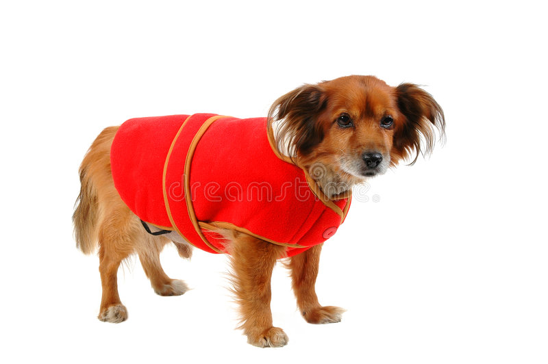 Sensitive to the cold dog 2 royalty free stock photography