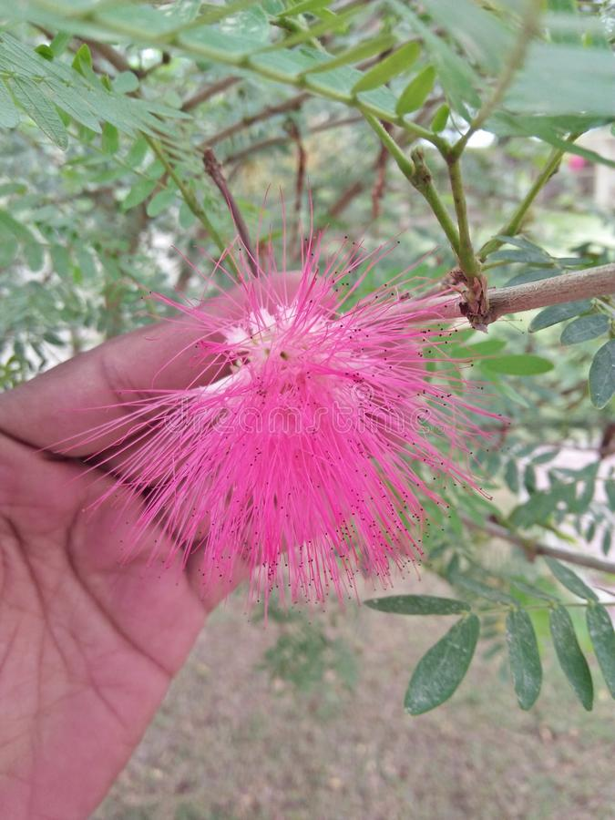 MIMOSA PUDICA /TICKLE ME PLANT. SENSITIVE TO PHYSICAL PARAMETERS LIKE TOUCH, TEMPERATURE &light. PLANT HAVE SMALL BEAUTIFUL PINK FLOWERS .THE LEAVES OF THIS stock images