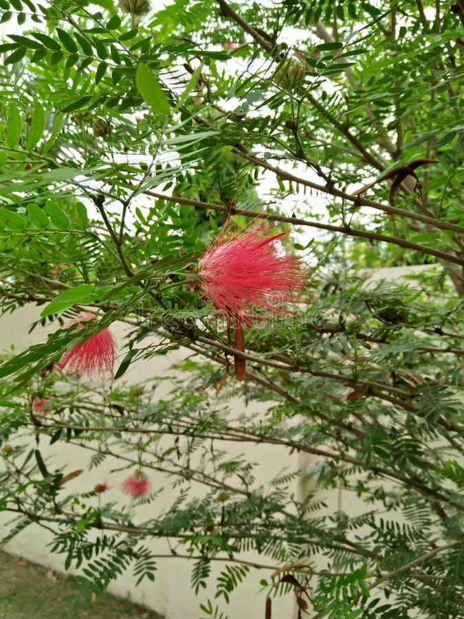 MIMOSA PUDICA /TICKLE ME PLANT. SENSITIVE TO PHYSICAL PARAMETERS LIKE TOUCH, TEMPERATURE &light. PLANT HAVE SMALL BEAUTIFUL PINK FLOWERS .THE LEAVES OF THIS royalty free stock image