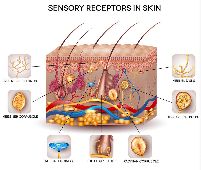 Sensorische receptoren in de huid royalty-vrije illustratie