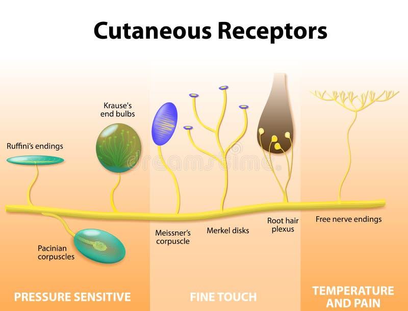 Sensorische receptoren in de menselijke huid royalty-vrije illustratie