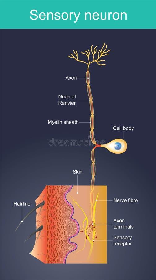 Sensorisches Neuron Zellen treten als externe Anregungen in der unterschiedlichen Umwelt auf stock abbildung