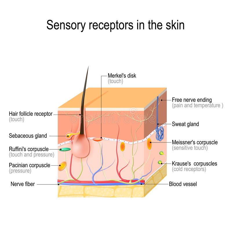 Sensory receptors in the skin. Pressure, vibration, temperature, pain and itching are transmitted via special receptory organs and nerves. Vector illustration stock illustration