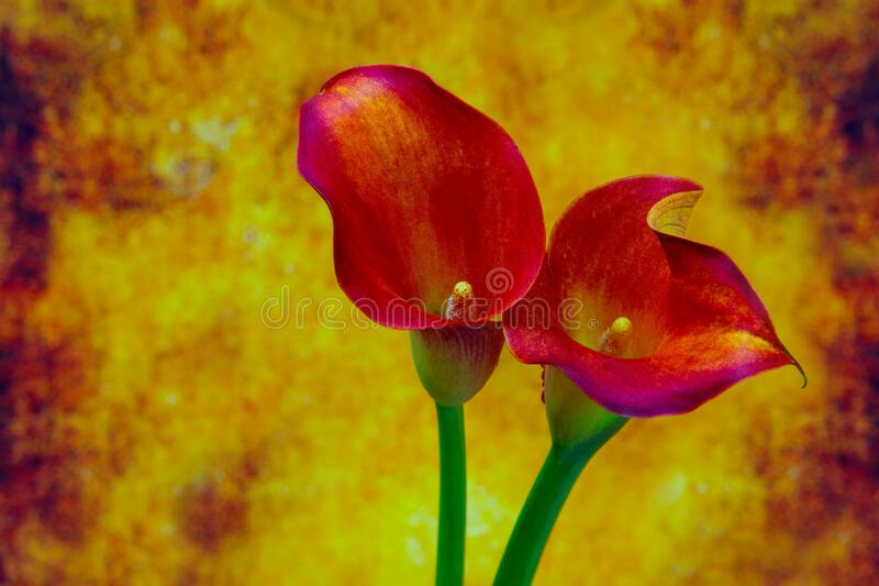 Sensual calla lilies on abstract grunge background stock photos