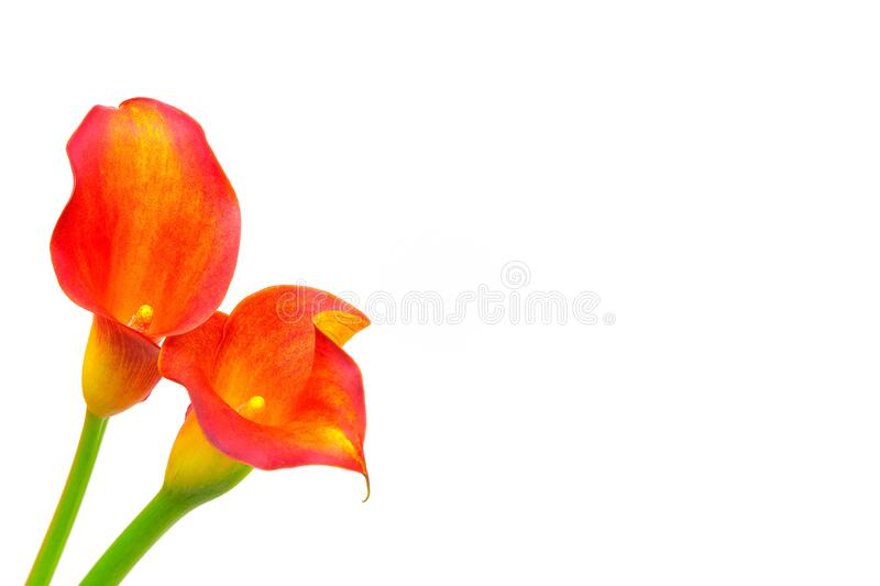 Sensual calla lilies close up on white background stock images