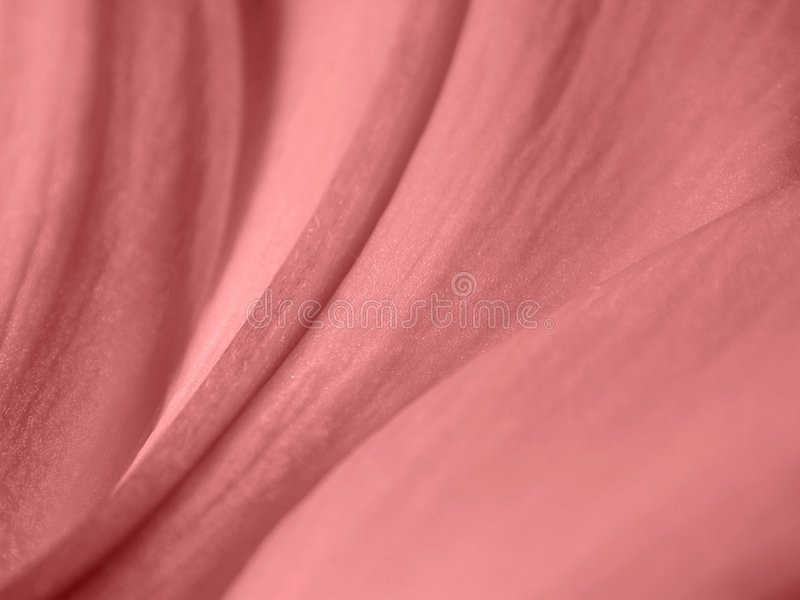 Sensual Rose Petals Texture. An up close macro of pink rose petals ideal as a background, layer or texture. Has a very feminine sexual tone to it stock image