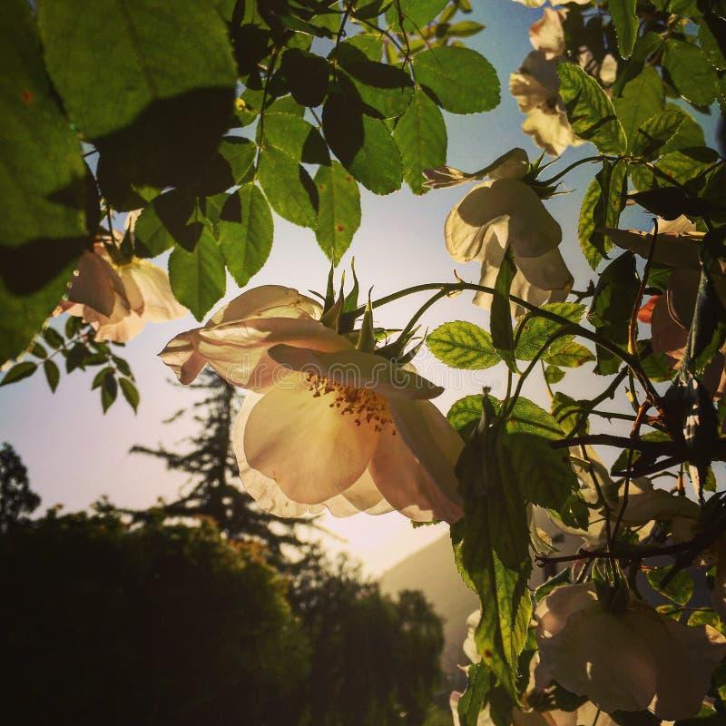 Senta l'odore delle rose fotografie stock libere da diritti