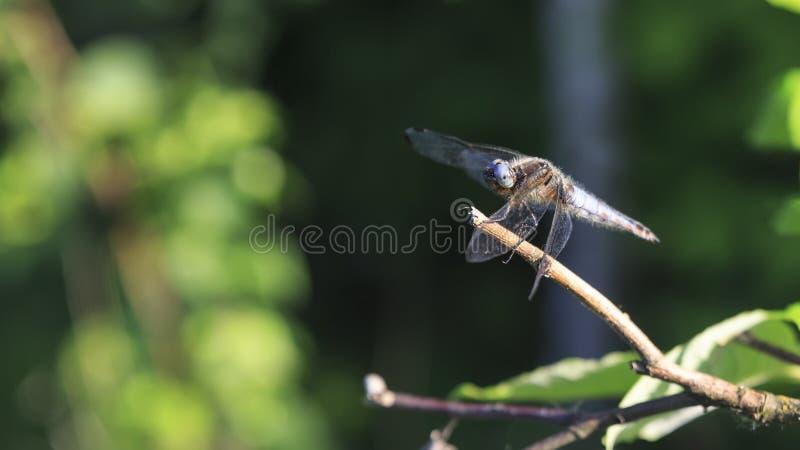 Sentada azul de la libélula, fondo verde, ascendente cercano de la macro imagenes de archivo