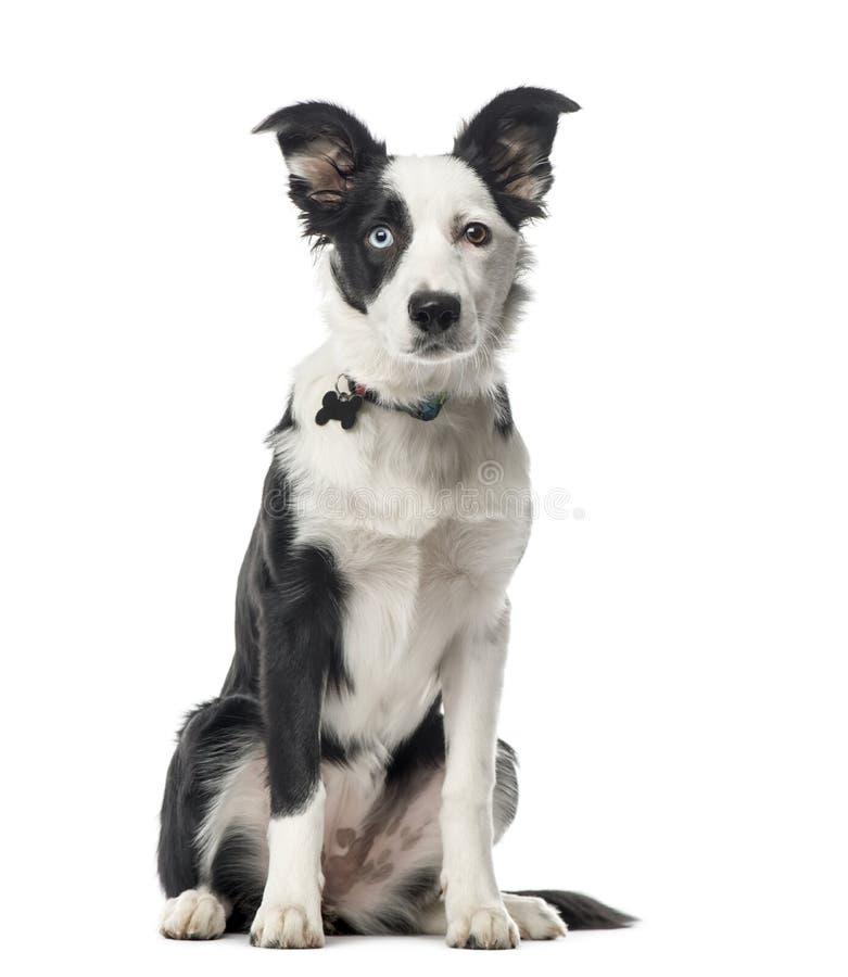 Sentada del border collie del perrito, 5 meses, aislados imagenes de archivo