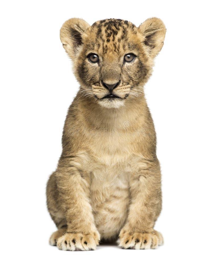 Sentada del cachorro de león, mirando la cámara, 7 semanas de viejo, aislada fotografía de archivo libre de regalías