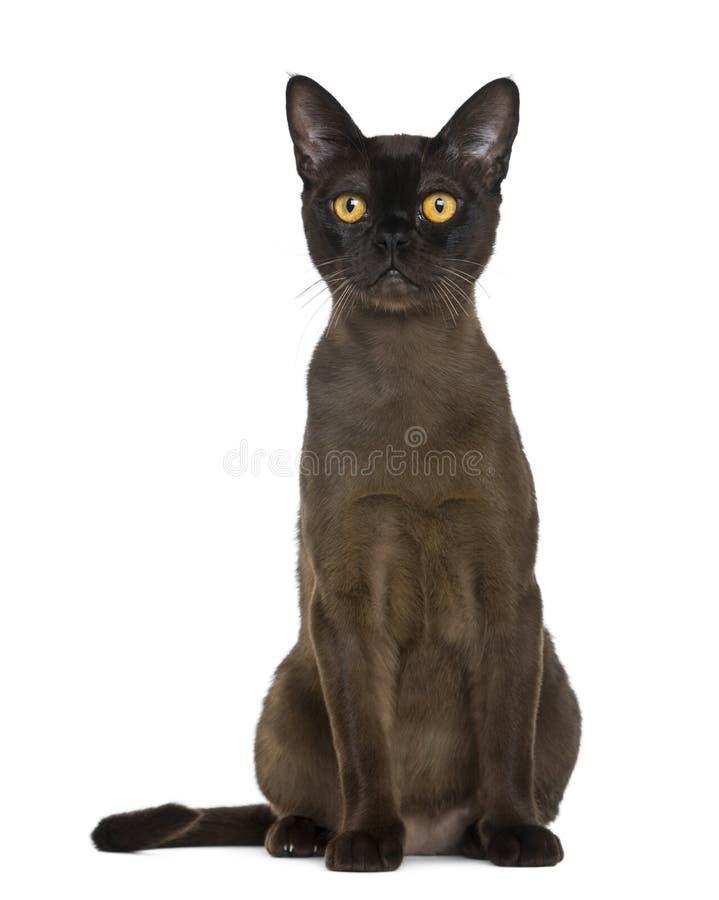 Sentada del gato de Bombay foto de archivo libre de regalías