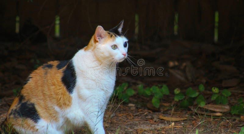 Sentada del gato de calicó foto de archivo libre de regalías