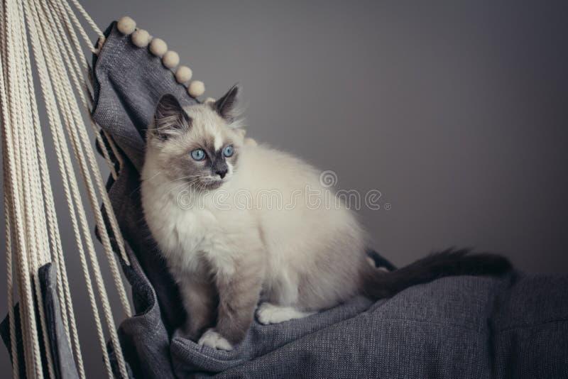Sentada del gato de Ragdoll imágenes de archivo libres de regalías