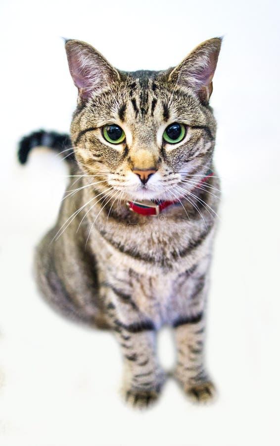 Sentada del gato de Shorthair del americano foto de archivo libre de regalías