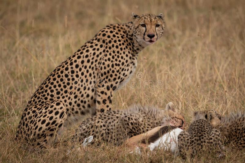 Sentada del guepardo como los cachorros comen la gacela de THOMSON fotos de archivo