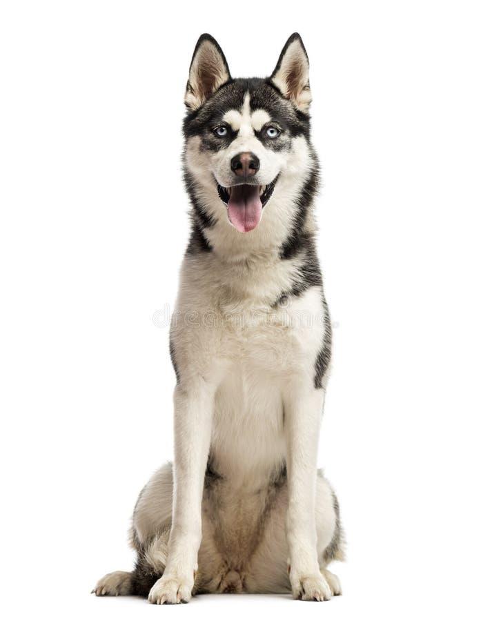 Sentada del husky siberiano imagenes de archivo