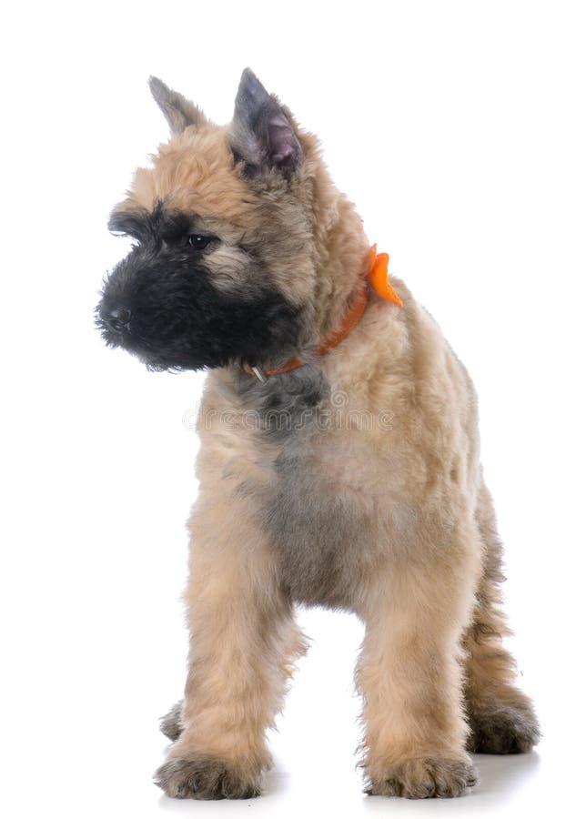 Sentada del perrito de Bouvier imagen de archivo