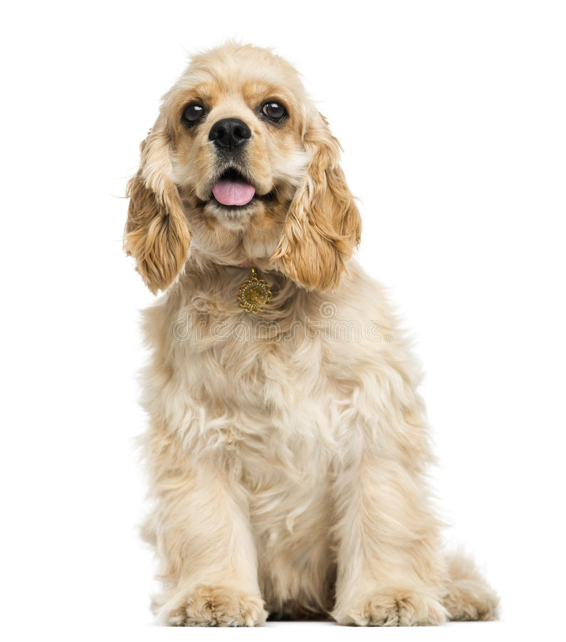 Sentada del perrito de cocker spaniel del americano, jadeando, 5 meses imágenes de archivo libres de regalías
