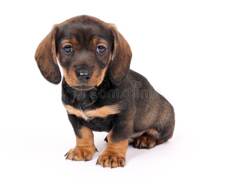 Sentada del perrito de Teckel imágenes de archivo libres de regalías