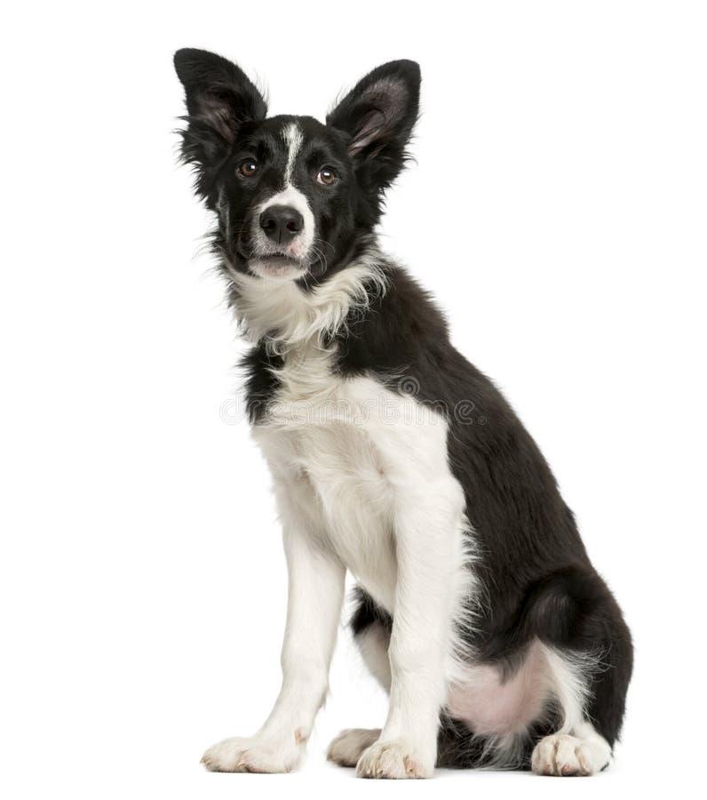 Sentada del perrito del border collie fotografía de archivo