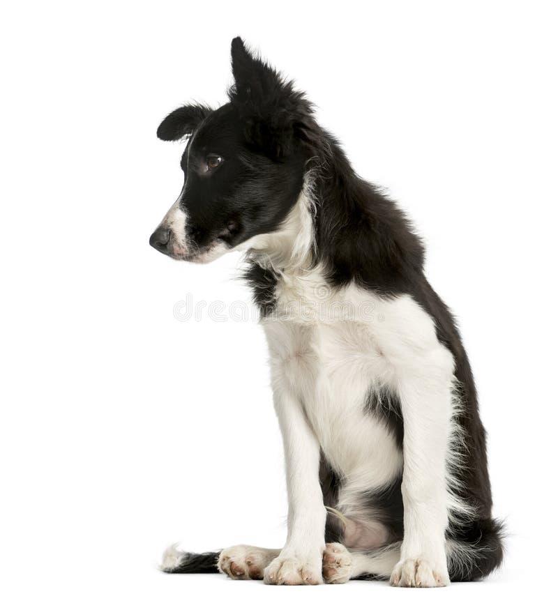 Sentada del perrito del border collie imagen de archivo