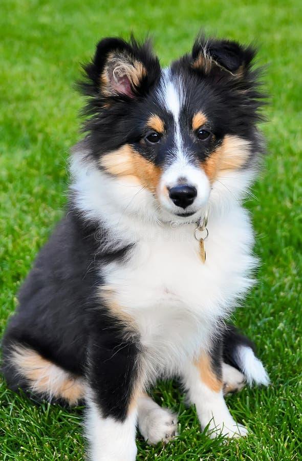 Sentada del perrito del perro pastor de Shetland imagenes de archivo