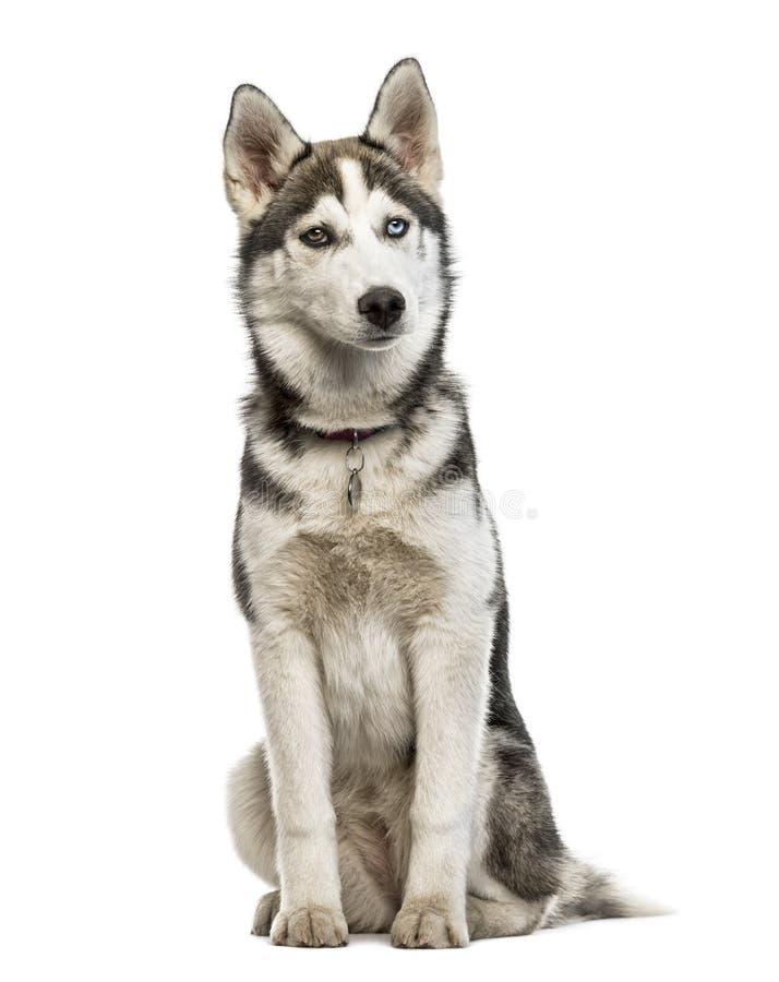 Sentada del perrito del husky siberiano, aislada imágenes de archivo libres de regalías
